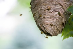 Yellowjacket wasps swarm on and around their paper nest as it hangs from an outdoor tree branch in a residential front yard. Isolated closeup taken in a Michigan summer.