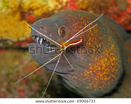 Yellowmargin Moray Eel (Gymnothorax Flavimarginatus) With ...
