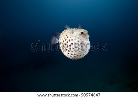 yellowspotted burrfish and ocean