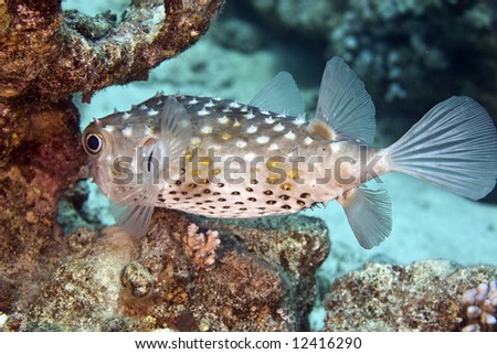 yellowspotted burrfish (cyclichthys spilostylus