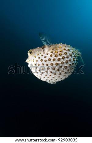 Yellowspotted burrfish in the Red Sea