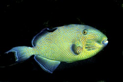 Yellowspotted Triggerfish (Pseudobalistes fuscus) in Aquarium