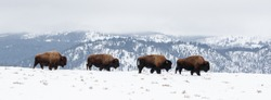 Yellowstone Bison in the winter snow