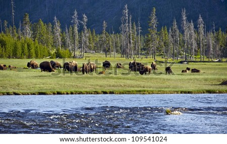 Yellowstone Landscape and Ecosystem - American Bisons ( Buffalo ) in the Greater Yellowstone - Firehole River. Nature Photo Collection