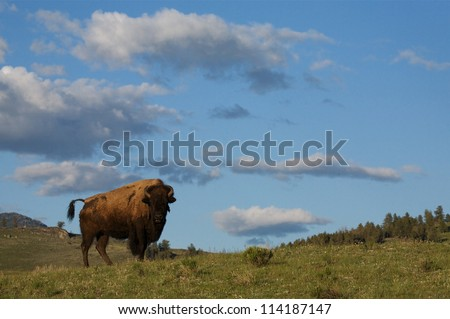 Yellowstone National Park environmental image; a Bison / Buffalo stands in prairie sagebrush habitat with blue sky and clouds in the background; Yellowstone wildlife photography