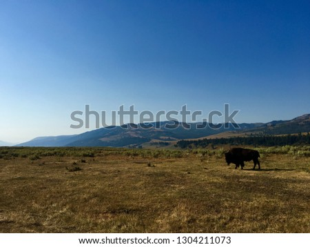 Yellowstone National Park. Yellowstone features dramatic canyons, alpine rivers, lush forests, hot springs and gushing geysers. Pictured is a bison grazing on a vast plain.