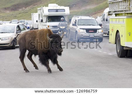 YELLOWSTONE, USA - AUGUST 18: Bison on August 18, 2007 in Yellowstone: jam on the highway due to the presence of bison. The roadkills of bison pose a serious problem in the park.