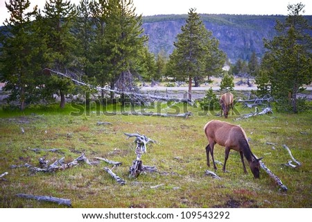 Yellowstone Wildlife. Spring in the Yellowstone. Landscape with Deers.