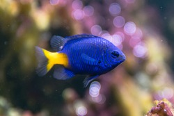 Yellowtail damselfish (Chrysiptera parasema). Popular saltwater aquarium fish from the Indo-Pacific in the family Pomacentridae, aka yellowtail blue damsel and goldtail demoiselle