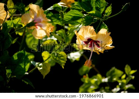 Yellwo Hibiscus rosa-sinensis, Colloquially as Chinese hibiscus, China rose, Hawaiian hibiscus, rose mallow and shoeblackplant, a species of tropical hibiscus, Hibisceae tribe of the family Malvaceae