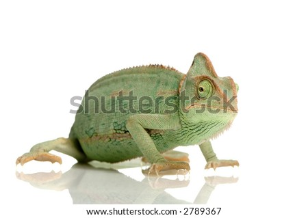 Yemen Chameleon in front of a white background - stock photo
