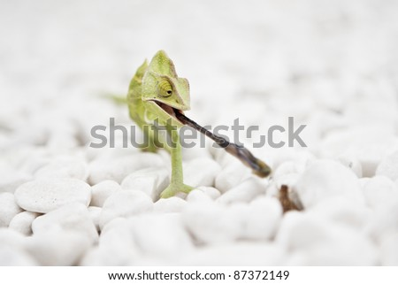 Yemen Chameleon is hunting on the white stones. - stock photo