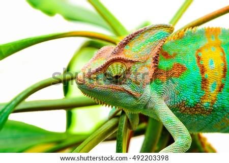 Yemen chameleon isolated on white background - Shutterstock ID 492203398