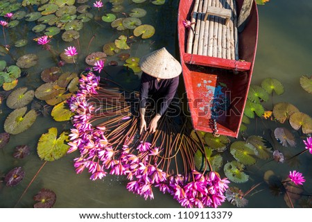 Yen river with rowing boat harvesting waterlily in Ninh Binh, Vietnam