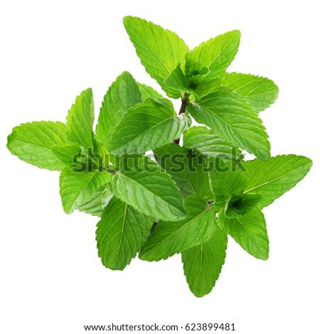 yerba buena, hierba buena, mojito mint, cuban mint #623899481