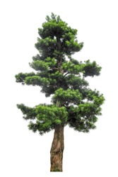 yew podocarpus with white background,buddhist pine is highly regarded as a feng shui tree in Hong Kong, giving it a very high market value.