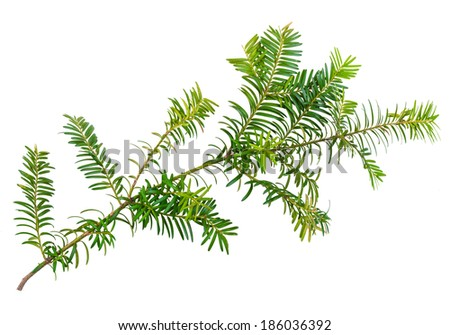 yew twig isolated on white background #186036392