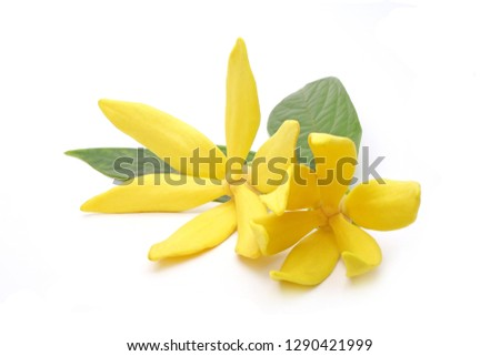 Ylang-Ylang (Cananga odorata) valued for perfume extracted from its flowers,  which is an essential oil used in aromatherapy. Also called fragrant cananga, Macassar-oil, or perfume tree. Isolated.