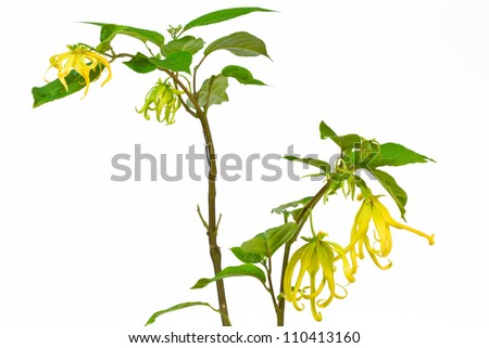 Ylang-Ylang Flower on tree on  white background