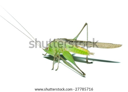 yoga exercise grasshopper conocephalus maculatus stock
