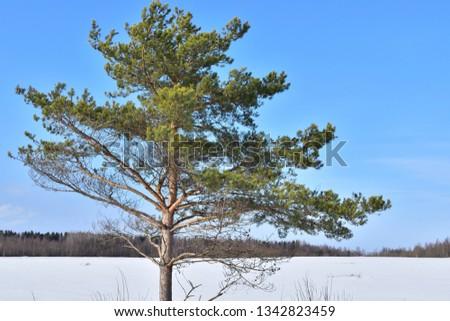 Yoing pine tree #1342823459
