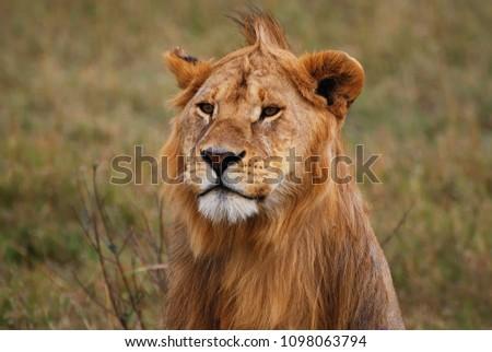 Yong male lion #1098063794