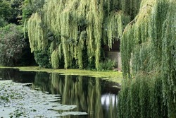 York, Yorkshire  UK - August 10th 2021: Weeping willows, river Fosse, York