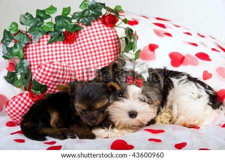 stock photo : Yorkie and Biewer puppies with Valentine hearts