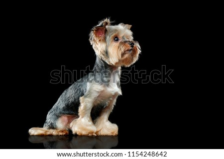 Yorkie dog in a black studio side view picture