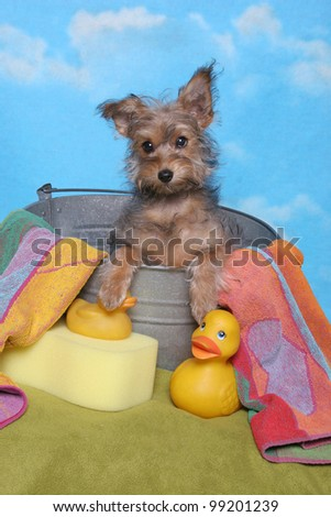 Yorkie in a bathtub