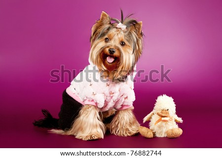 Yorkie on dark purple background