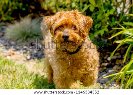 Yorkie Poo posing on grass. Yorkie Poo is a cross between a Yorkshire terrier and toy poodle. The breed has been around for only 10 years. Yorky dog
