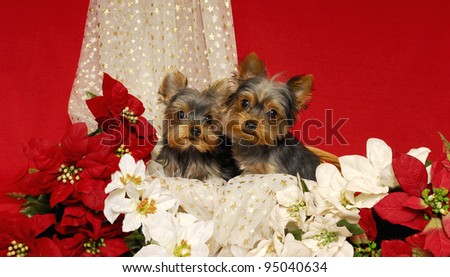 Yorkie Puppies and Poinsettias