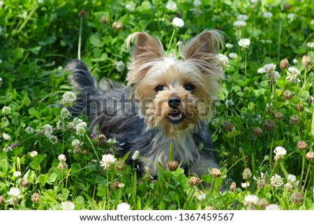 Yorkie puppy dog laying in the clover field