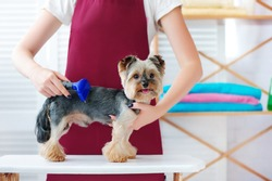 Yorkie puppy getting  Fur Reduction at the grooming salon