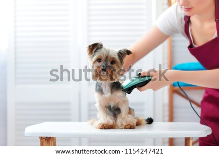 Yorkie puppy getting haircut
