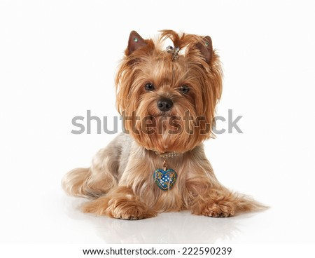 Free Photos Yorkie Puppy On Light Background Avopixcom