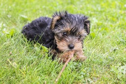 Yorkie Puppy Playing with a Stick on Green Grass