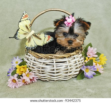 Yorkie puppy sitting in a basket with a yellow butterfly and spring flowers. - stock photo