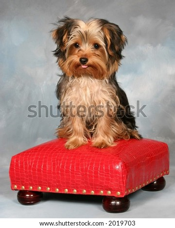 Yorkie Puppy sitting on a red stool sticking his tongue out