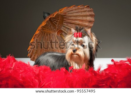 yorkie puppy with umbrella on grey gradient background