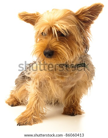 yorkshire puppy on a white background