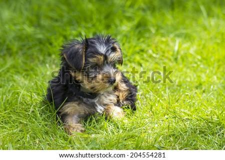 yorkshire terrier #204554281