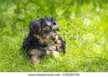 yorkshire terrier #558284746