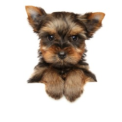 Yorkshire Terrier above banner, isolated on white background