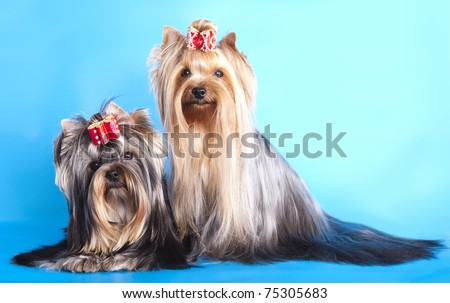 stock photo : Yorkshire Terrier adult dogs