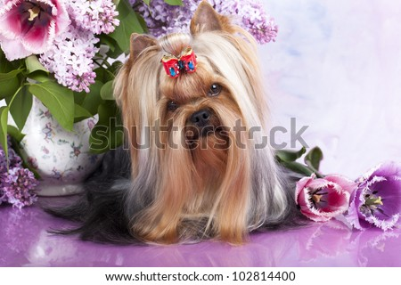 yorkshire terrier and flowers spring