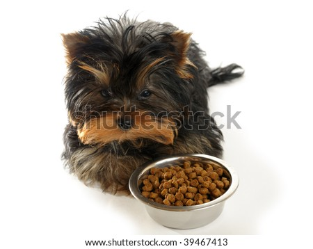 yorkshire terrier and food on the white background