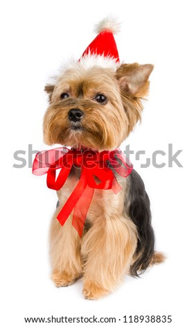 Yorkshire terrier dog at Christmas