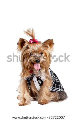 Yorkshire terrier dog in black-and-white clothes isolated on white